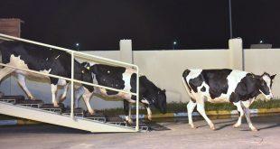 195 коров прилетели на Сахалин из Венгрии